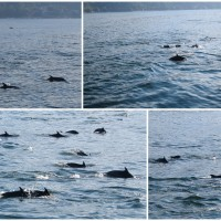 dolphins-pv