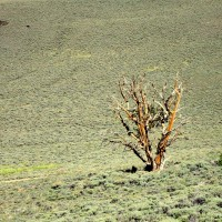 A bristlecone pine tree in the middle of a field